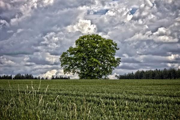 Ein Nussbaum mit übertriebenen HDR Effekt